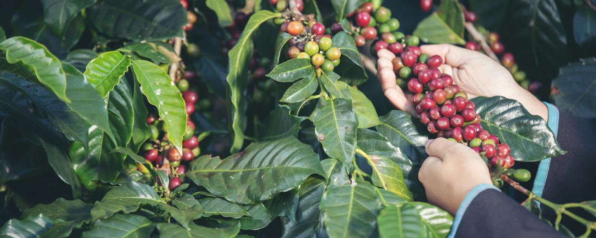 la filiera del caffe